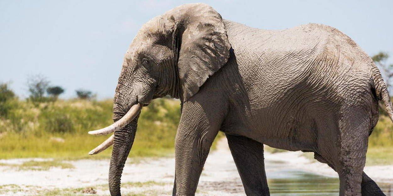 Au Botswana, plus de 135000 éléphants se partagent le territoire.